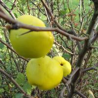 Owoce ciernistych krzewów.
