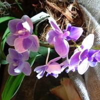 Phalaenopsis Mini .