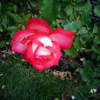 Róża Diekor w zbliżeniu .