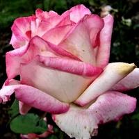 Róża Duble Delight Andeli w zbliżeniu .