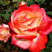 Róża Macgoofi w zbliżeniu .