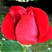 Róża Magic Carrusel w zbliżeniu .