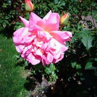 Róża N N w zbliżeniu .