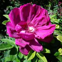 Róża parkowa pachnąca w zbliżeniu .