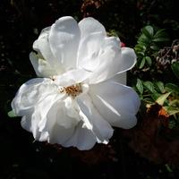 Róża parkowa w zbliżeniu .