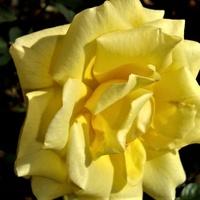 Róża Twist Poulstri w zbliżeniu .