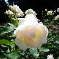 Róża Weneda w zbliżeniu .