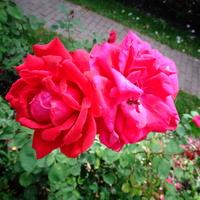 Róże N N w zbliżeniu .