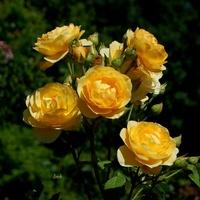 róże żółto-pomarańczowe