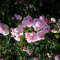Różyczki kaskadowe pachnące .
