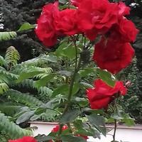 Róza pnąca SANTANA !!