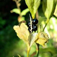 Są już czarne perły:)