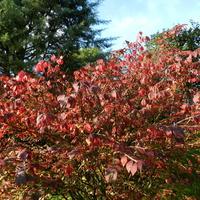 Trzmielina oskrzydlona,kolory jesieni