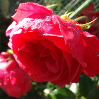 W porannym słońcu i rosie
