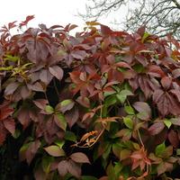 Winobluszcz,  kolory jesieni