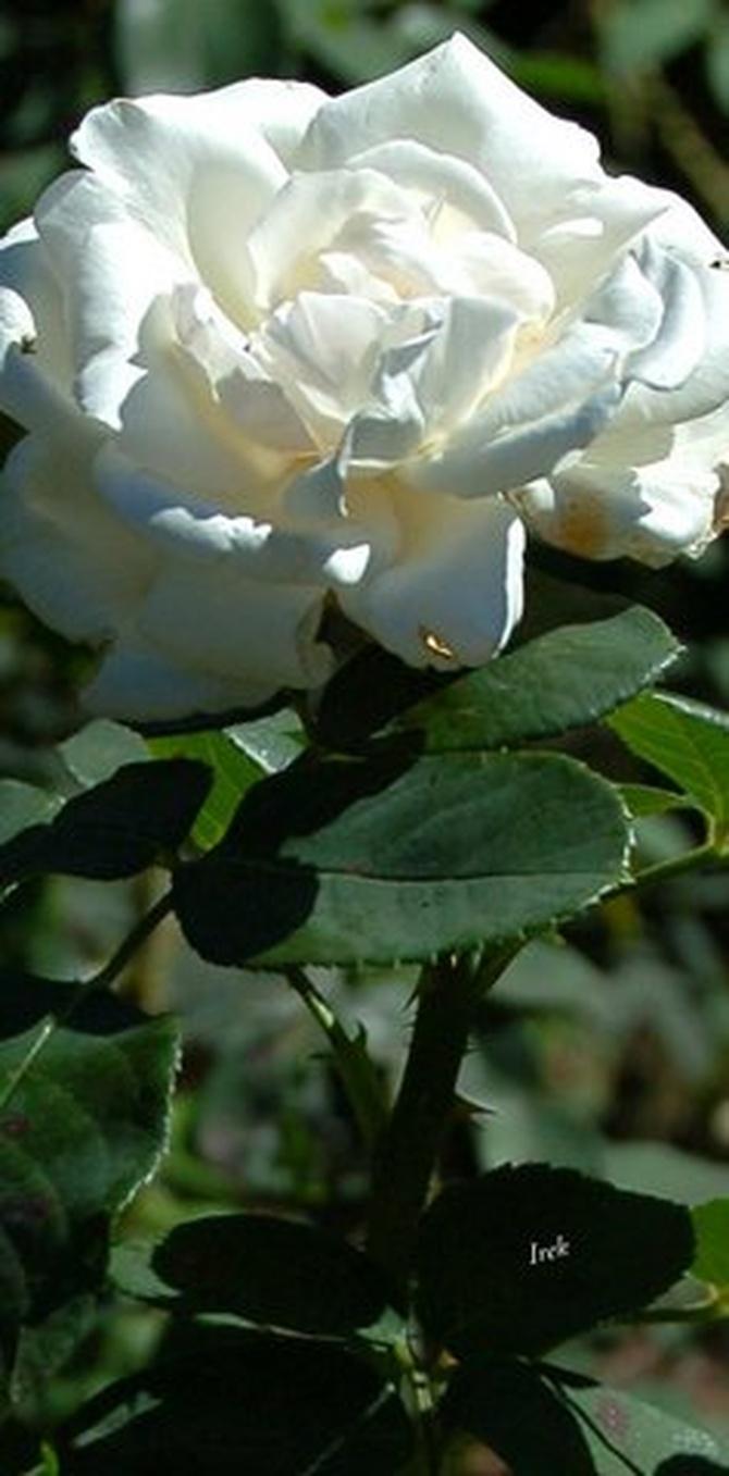 Biała róża (może być zamiast śniegu)