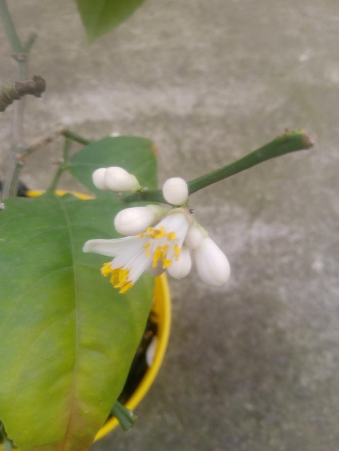 Cytryna ponownie kwitnie