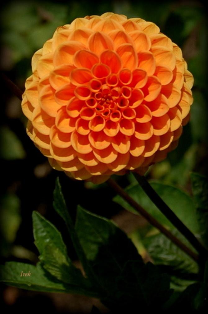 dalia pomarańczowa