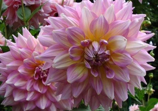 dalie, wspaniałe jesienne kwiaty