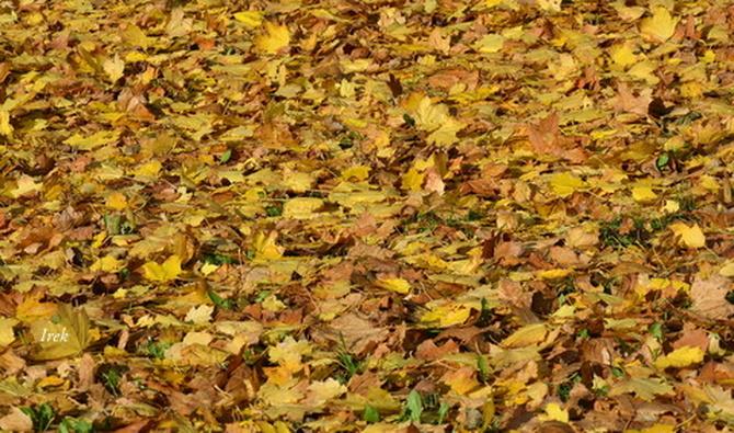 Dywan jesienny na moim osiedlu