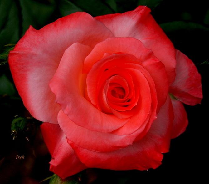 Fragment róży