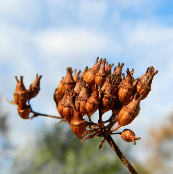 Hortensja bukietowa-nasiona