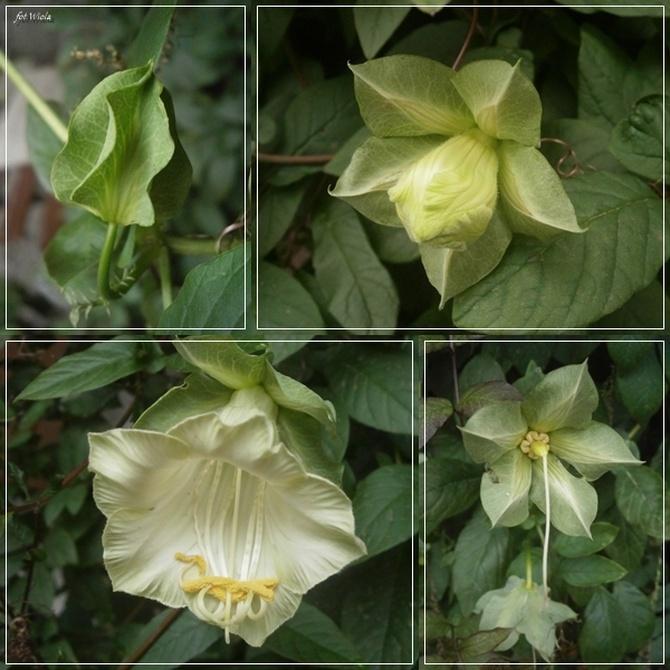 Inny kwiatuszek...