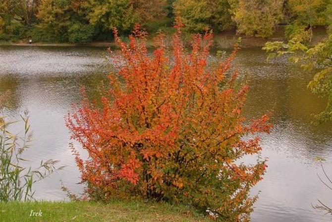 Jesienny krzew w parku w stolicy.