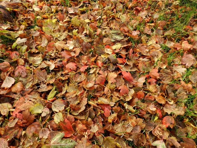 Kolorowe liście  kaliny
