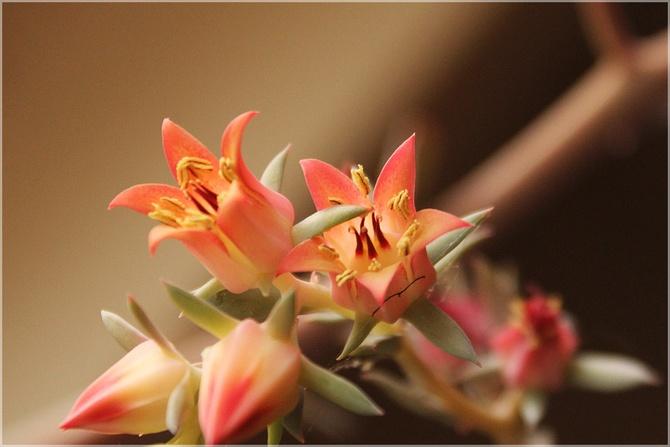 Kwiaty eszewerii...
