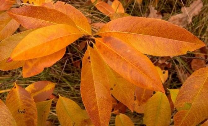 liście jesienne (w jaśniejszym kolorze)