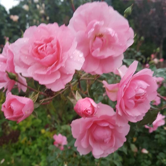 Nawet różyczki zdążyły zakwitnąć.