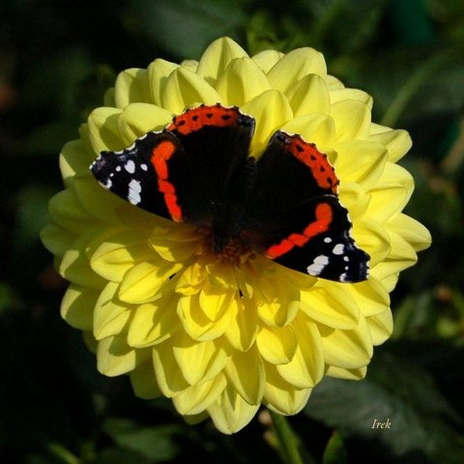 Dalia, kwiat z motylem