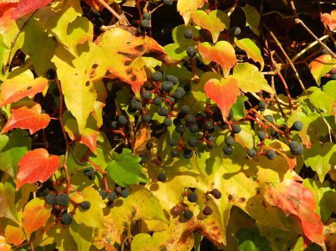 Owoce dzikiego wina