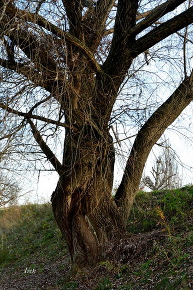Poplątane drzewo nad stawem.