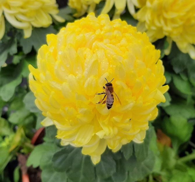 Pszczółka na chryzantemie