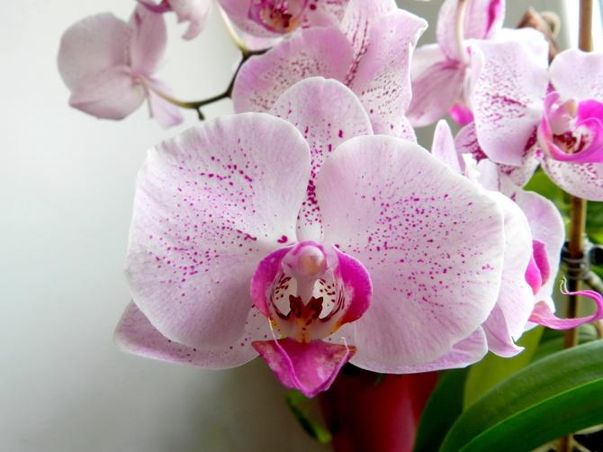 Storczyk-Orchidea