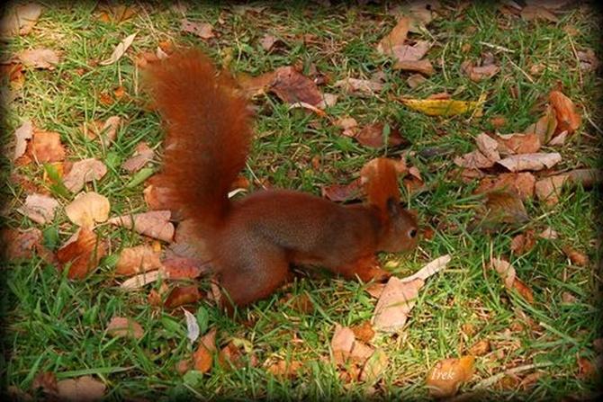 wiewiórka w parku