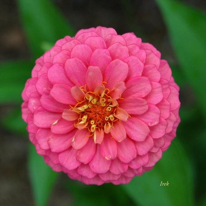 Wspaniała kula różowa