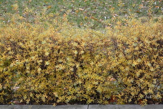 Zywopłot jesienny