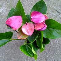 Anturium andreego ciemny fiolet