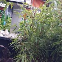 Bambus.....