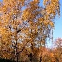 Brzozy w parku jesienią