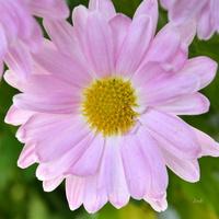 Chryzantema różowa