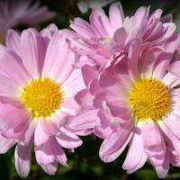chryzantemy różowe