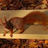 Ciekawska wiewiórka w parku
