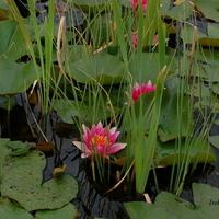 Czerwone lilie wodne