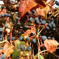 Dzikie wino-owoce