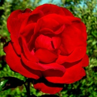 Główka róży bez łodygi i liści