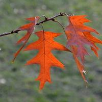 Jesień coraz mocniej koloruje liście dębu
